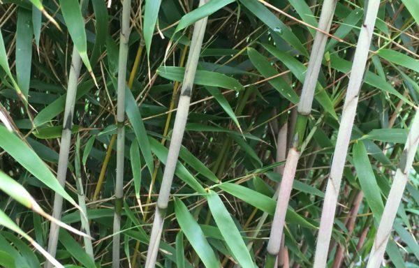 Fargesia dracocephala `Rufa` – voor bloembakken en potten