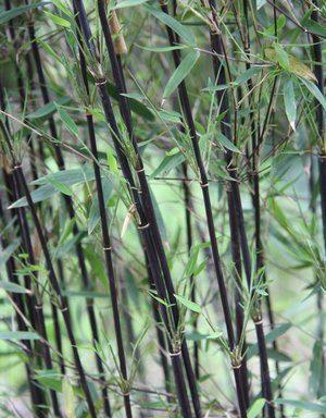 Fargesia jiuzhaigou `Deep Purple` – zwarte bamboe (vanaf half mei 2019 weer leverbaar)