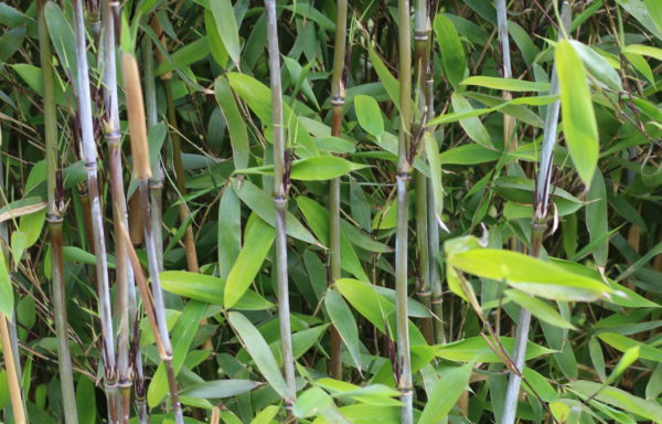 Bamboehaag / bamboehagen