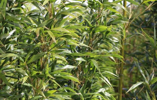 Semiarundinaria viridis – tempelbamboe – goede haagbamboe