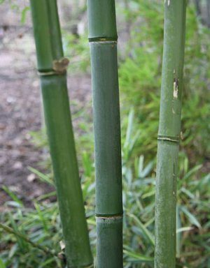 Phyllostachys heteroclada `Straightstem`