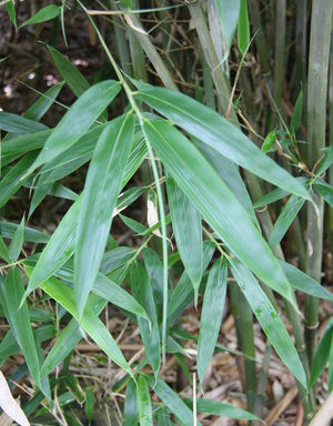 Bashania qingchengshanensis