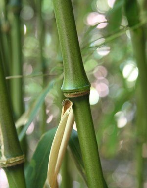 Chimonobambusa intermedia