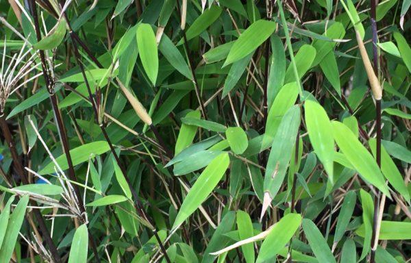 Fargesia nitida `Vulcano` – klein niet woekerend