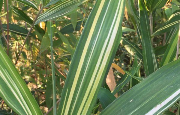 Pleioblastus argenteostriatus 'Kimmei'
