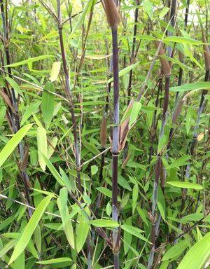 Fargesia demissa `Gerry` – zwarte bamboe niet woekerend