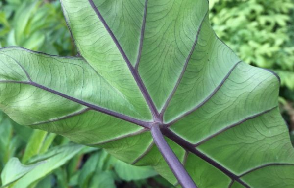 Colocasia Fontanesii 'Black Stem`