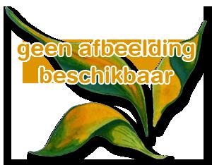 Bambusa multiplex 'Elegantissima'