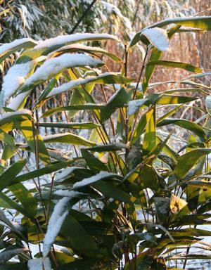 Indocalamus latifolius