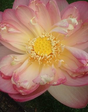 Nelumbo `Mrs. Perry Slocum`