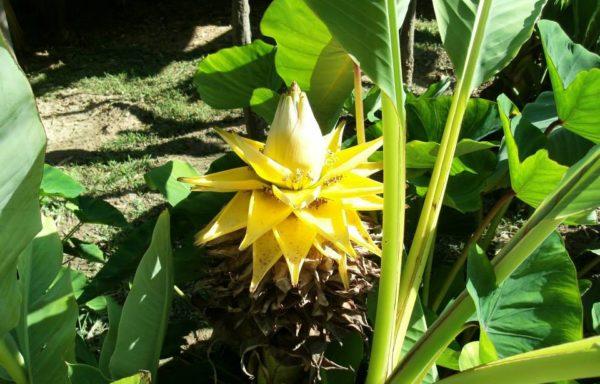 Banaan- en gemberachtigen