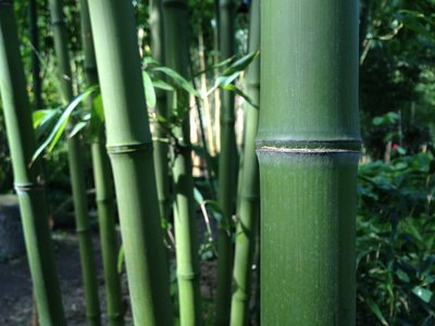Phyllostachys atrovaginata – wierook bamboe