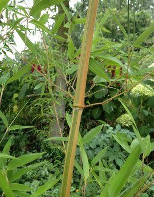 Phyllostachys aureosulcata `Argus`
