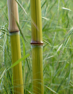 Phyllostachys aureosulcata `Harbin Inversa`