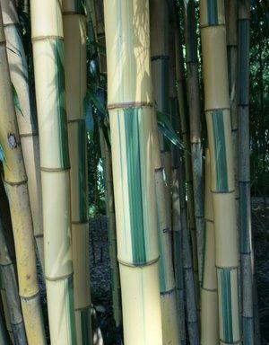Phyllostachys bambusoides `Castillonis`
