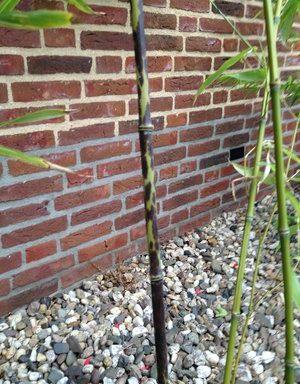 Phyllostachys bambusoides `Lacrima-Deae`