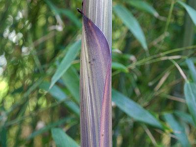 Phyllostachys decora
