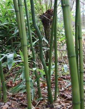 Phyllostachys lithophylla `Shanghai 1`