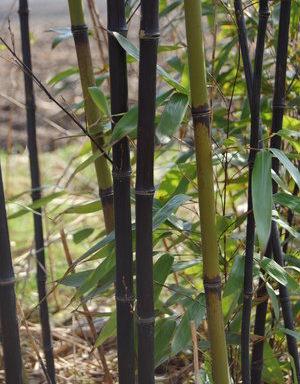 Phyllostachys nigra – zwarte bamboe