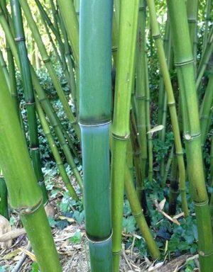 Phyllostachys propinqua 'Li Yu Gan'