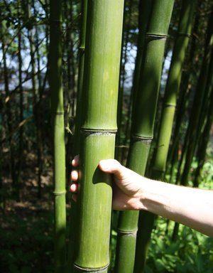 Phyllostachys sp. 'Shanghai 3′