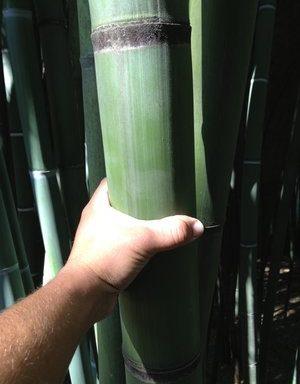 Phyllostachys viridis