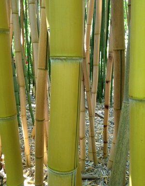 Phyllostachys vivax `Aureocaulis` – reuzenbamboe