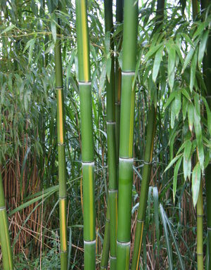 Phyllostachys vivax `Huangwenzhu` – reuzenbamboe