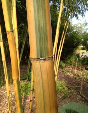 Phyllostachys vivax `Huangwenzhu Inversa` – reuzenbamboe