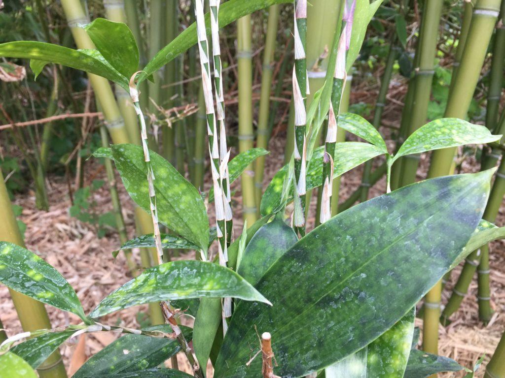 Bamboe Plant Binnen.Dracaena Surculosa Beste Bamboe Als Kamerplant