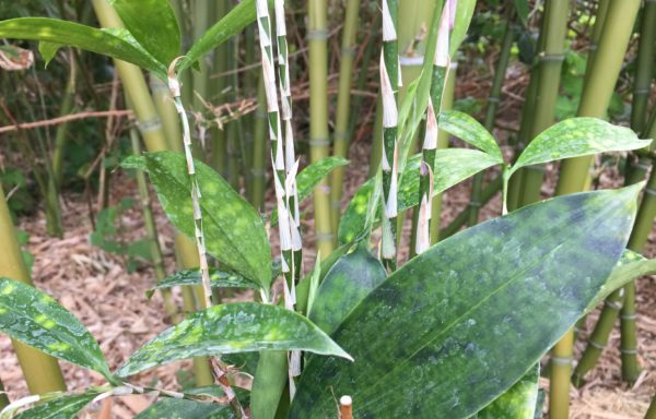 Dracaena surculosa –  beste bamboe als kamerplant