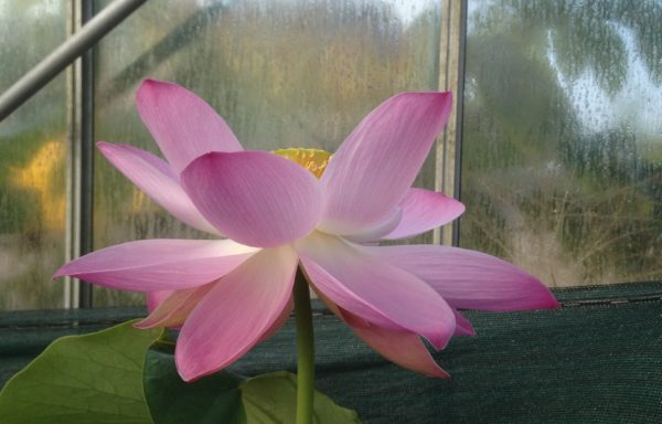 Nelumbo 'Robbert's Perfect Pink'