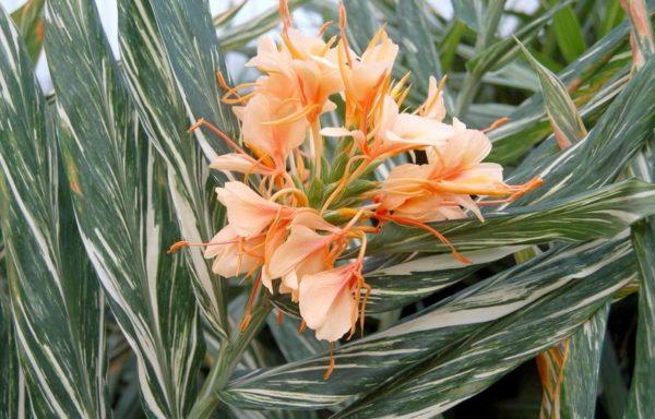 Hedychium X 'Tahitian Flame'