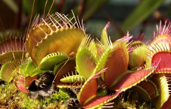 Dionaea muscipula – venus vliegenval