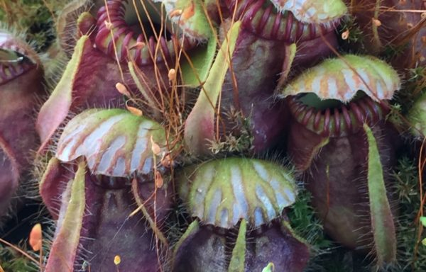 Cephalotus follicularis – Australische bekerplant