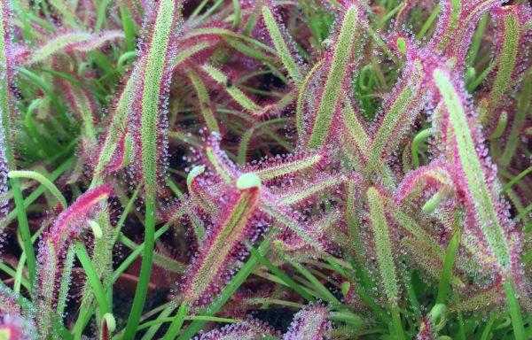 Drosera capensis Wild Form – Kaapse Zonnedauw