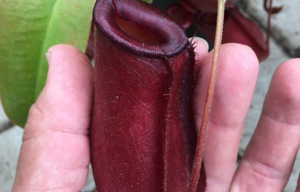 Nepenthes X 'Bloody Mary' – Tropische bekerplant