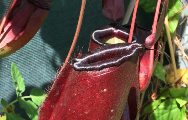 Nepenthes X 'Dark Secret' – Tropische bekerplant