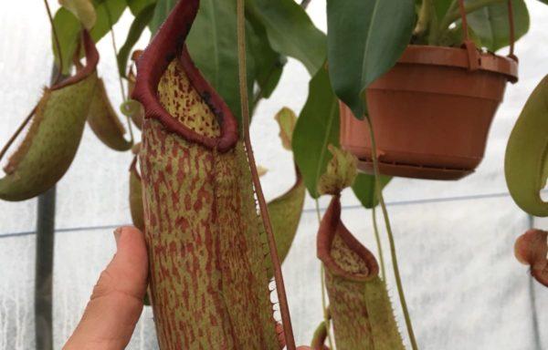Nepenthes X 'Miranda' – Tropische bekerplant