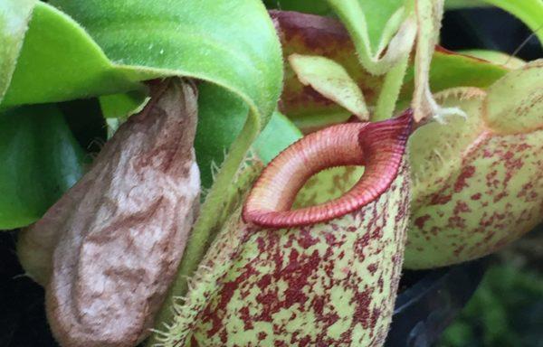 Nepenthes X 'Hookeriana' – Tropische bekerplant