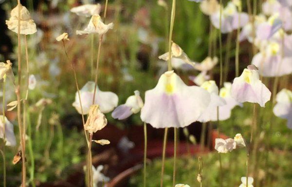 Utricularia livida – Blaasjeskruid