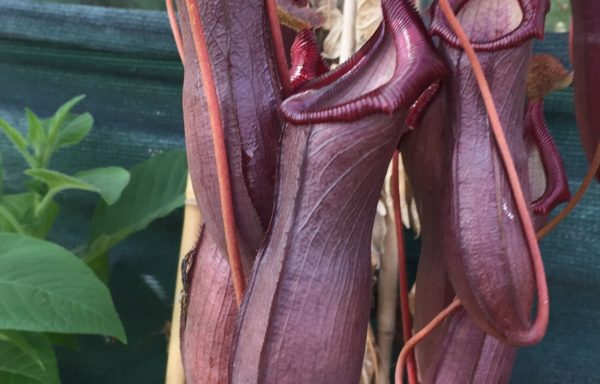 Nepenthes X 'Bill Bailey' – Tropische bekerplant