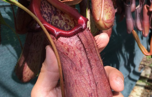 Nepenthes X 'Rob' – Tropische bekerplant