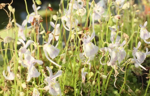 Utricularia sandersonii – Blaasjeskruid