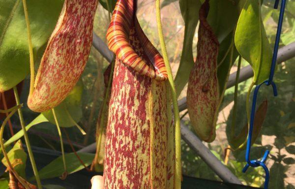 Nepenthes X 'Mojito' – Tropische bekerplant