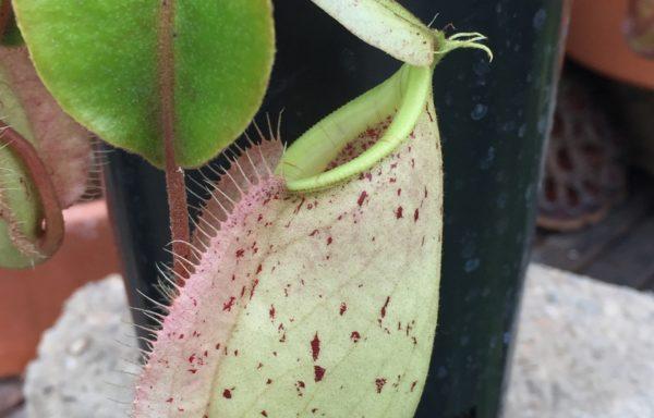 Nepenthes X (rafflesiana x ventricosa) – Tropische bekerplant