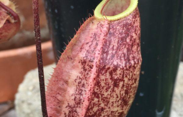Nepenthes X 'Suki' – Tropische bekerplant