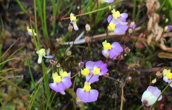 Utricularia bisquamata – Blaasjeskruid