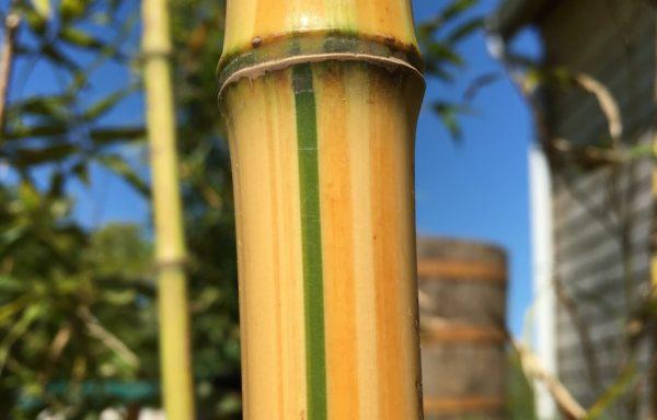 Phyllostachys iridescens 'Heterochroma'