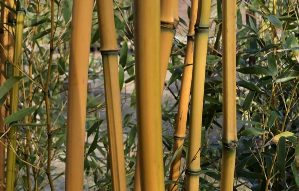 Phyllostachys aureosulcata 'Aureocaulis Lama Tempel'